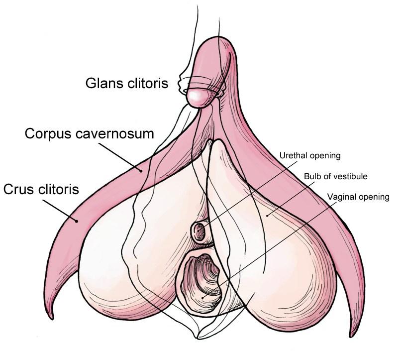 Clitoris siège de l'orgasme féminin